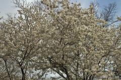 IMG_5635 (Roger Kiefer) Tags: dallas arboretum flowers outdoors beauty nature