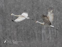 Sandhill Cranes (Bill McDonald 2016) Tags: flight fly sandhill cranes sandhillcranes snow flurry flurries winter ontario canada calling large bird avian billmcdonald wwwtekfxca