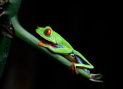 Red Eyed Green Tree Frog (rdspalm) Tags: treefrog frog amphibians green costarica centralamerica nikond850 macro