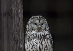 Owl (kevan r) Tags: owl bird close hawk wildlife
