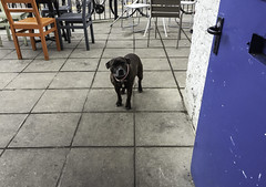 The Beautiful dog at the cafe (Libby Hall Dog Photo) Tags: staffie