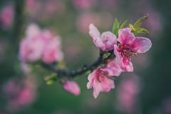 2019-04-03_udvar_04 (vond.one) Tags: vond g80 g85 panasonic lumix természet nature virág flower szín színek színes color colour colours colors