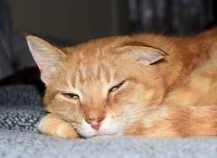 Sleepy Stewy (jmunt) Tags: cat stewartjcat