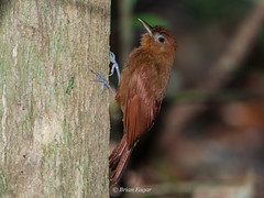 Ruddy Woodcreeper (Brian Eagar Nature Photography) Tags: muyil mexico bird wild wildlife nature animal olympus em1m2 em1mii panasonic200mmf28 woodcreeper ruddy
