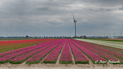 Tulips, Flevoland Netherlands (Peter Beljaards) Tags: tulips flevoland netherlands nikond5500 nikonafs35mmf18g tulpen nederland landschap landscape dutch lente spring flowers bloemen