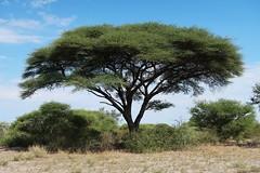 Tree of Botswana (h0n3yb33z) Tags: botswana animals wildlife tree africa