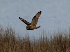 IMG_0013 (monika.carrie) Tags: monikacarrie wildlife seo shortearedowl forvie scotland owl