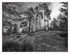 in the woods (kurtwolf303) Tags: wald forest woods monochrome kurtwolf303 omd olympusem1 microfourthirds sw bw nature natur trees bäume sky himmel cöouds wolken landscape landschaft sverige sweden schweden