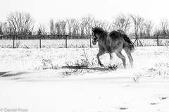 Redo (danfryer2) Tags: barn winter monochrome bugs nikond5100 mono horse blackandwhite horseplay