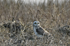 Alert (Snixy_85) Tags: owl shortearedowl asioflammeus