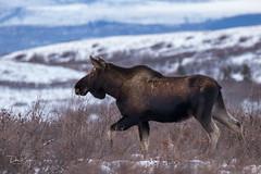 Exit Stage Left (Dan King Alaskan Photography) Tags: bullmoose bull moose alcesalces interioralaska alaska protectwildlife preservewilderness wilderness wildlife canon80d sigma150600mm