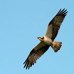 Osprey in Flight by Andrew Chu