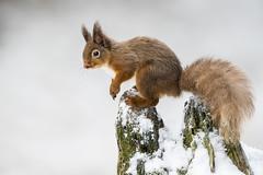 Red Squirel (Bill Richmond) Tags: sciurusvulgaris scotland red squirrel cairngorms wild nikon d810 500f4