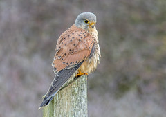 DSC6053  Kestrel... (Jeff Lack Wildlife&Nature) Tags: kestrel kestrels raptors birdsofprey hawk hawks falcon falcons birds avian animal animals wildlife wildbirds wetlands woodlands wildlifephotography jefflackphotography trees heathland hedgerows heathlands heaths moorland marshland meadows marshes moors countryside coastalbirds copse coastline coast cliffs grasslands nature
