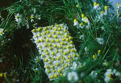 Ephemeral geometry. (Hijo de la Tierra.) Tags: film analog 35mm nature flowers ephemeralart ephemeralgeometry grain agustíngaleano hijodelatierra spring chamomile chamomille