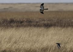 scatter (blackfox wildlife and nature imaging) Tags: nikon d300s sigma150600c bif birdsofprey shortearedowl malehenharrier parkgate wirral