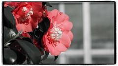 Kamelie (1elf12) Tags: kamelie flower blume blüte blossom bremen germany deutschland botanika