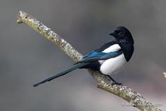 Magpie (Ashley Middleton Photography) Tags: cricklade animal bird england europe lowermoorfamnaturereserve magpie unitedkingdom wiltshire cotswoldwaterpark