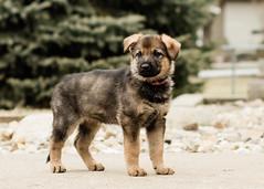 2019-03-02, Mel x Dezi Pink Female-2 (Falon167) Tags: gsd germanshepherddog german shepherd dog puppy mel dezi melxdezi litter bessie puppies