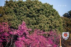 D68_4010 (brook1979) Tags: 台灣 台中 泰安 警察局 櫻花 春天 花季 粉 紫 taiwan taichung flower sakura 八重櫻