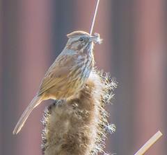 Prepping. (Omygodtom) Tags: nature natural d7100 bokeh bird songsparrow outside usgs urban wildlife scene nikon70300mmvrlens