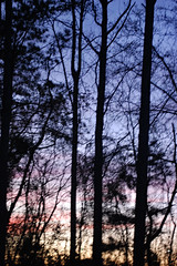 Tall Trees. (dccradio) Tags: lumberton nc northcarolina robesoncounty outdoor outdoors outside nature natural march spring springtime sunday sundayevening sundaynight evening silhouette tree trees treebranch branch branches treebranches treelimb treelimbs sky colorful colorfulsky sunset sunsetsky clouds pinkclouds bluesky nikon d40 dslr scenic woods wooded forest beauty beautiful pretty landscape