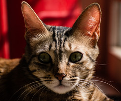(rohitchaoji) Tags: cat cats cade catto animal animalportrait animalportraits petportrait pet pets