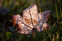 Leaf And Light (uwe.kast) Tags: blatt leaf licht sonnenlicht panasonic natur nature sunlight gras lumix g9
