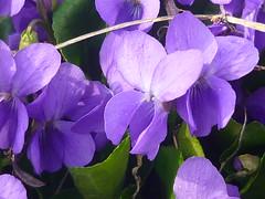 Viola riviniana (Jörg Paul Kaspari) Tags: daun eifel vulkaneifel totenmaar frühling spring violariviniana viola hainveilchen violett