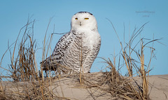 Snowy Owl, NJ (stephenwalshphoto) Tags: