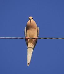 Mourning Dove (piranhabros) Tags: zenaidamacroura sky wire animal bird dove mourningdove