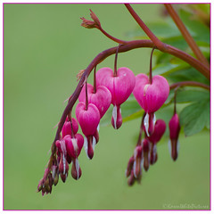 bleeding hearts 6/30 & 24/100x 2019 (sure2talk) Tags: bleedinghearts dicentraspectabilis pink blooms garden april2019amonthin30pictures 630 100xthe2019edition 100x2019 image24100 24100x2019 macro closeup shallowdof bokeh