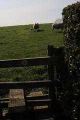 brill walk-190401-38.jpg (Phil Mercer-Kelly) Tags: sunshine spring radiooxford bbc counyryside blossom philmercer getactive brill sheep buckinghamshire europe england uk oxfordshire views bucks health windmill walker oakley walk