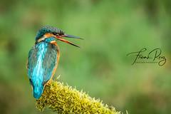 20190407-DSC_3740 (frankreiz) Tags: ijsvogel kingfisher kingfisherhouse frankreiz