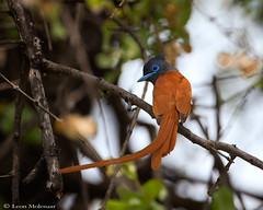 African Paradise-Flycatcher (leendert3) Tags: leonmolenaar southafrica phalaborwa limpopoprovince wildlife nature birds africanparadiseflycatcher ngc npc coth5