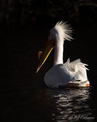 20190408-DSC_7298.jpg (GrandView Virtual, LLC - Bill Pohlmann) Tags: bird americanwhitepelican wisconsin wildlife waterfowl stcroixriver northhudsonwi