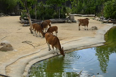Chester Zoo Islands (1269) (rs1979) Tags: chesterzoo zoo chester islands banteng