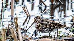 Snipe (Unintended_Keith) Tags: snipe water wader wildlife moorgreenlakes berkshire canon1dx sigma150600mms bird