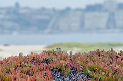 Pequén en Humedal Algarrobo norte (realight) Tags: pequen aves chilenas humedal algarrobo docas