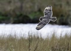 quartering the cut (blackfox wildlife and nature imaging) Tags: nikon d7200 sigma150600c shortearedowl raptor birdsofprey birdsofpreyinflight bif wirral wildlife