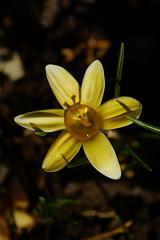 _DSC4238 Krokus (wdeck) Tags: meingarten blüte blossom crocus krokus sonyalphaslt77 sony