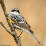 4279Male Myrtle Warbler thumbnail
