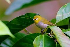 繡眼尋春 (Gregg Huang) Tags: nature a9 bird wildbird