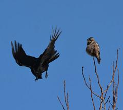 Raven Mobbing Hawk Owl (NP Rothman) Tags: surniaulula anchorageinternationalairport