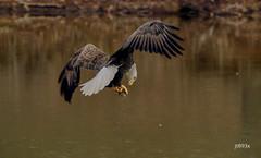 Bald Eagle (jt893x) Tags: 150600mm americanbaldeagle baldeagle bif bird d500 eagle haliaeetusleucocephalus jt893x nikon nikond500 raptor sigma sigma150600mmf563dgoshsms coth5 alittlebeauty coth sunrays5