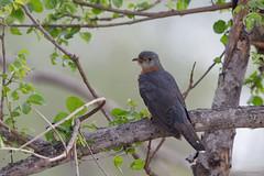 Red-chested Cuckoo -7948 (Theo Locher) Tags: birds cuculussolitarius oiseaux pietmyvrou redchestedcuckoo vogels vögel krugernationalpark kruger zuidafrika southafrica copyrighttheolocher