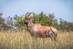 Topi (helenehoffman) Tags: africa kenya topi conservationstatusvulnerable mammal antelope maasaimaranationalreserve bovidae damaliscuslunatusjimela animal