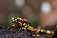 salamandre de feu (moments in nature by Antje Schultner) Tags: feuersalamander fire salamander salamandre de feu fuego fuursalamander salamandrasalamandra amphibien deutschland besondersgeschützt