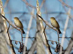 Topaz AI test (1/2) : a Chiffchaff (Franck Zumella) Tags: nature bird small oiseau petit warbler pouillot fitis veloce animal wildlife spring color printemps couleur chiffchaff sony a7s a7 tamron 150600 branch branche tree arbre sing singing chanter chant winter hiver topaz gigapixel sharpen ai ia