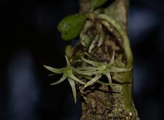Mystacidium tanganyikense (zimbart) Tags: angiosperms asparagales flora malawi mystacidium nyikaplateau orchidaceae green monocots white africa mystacidiumtanganyikense